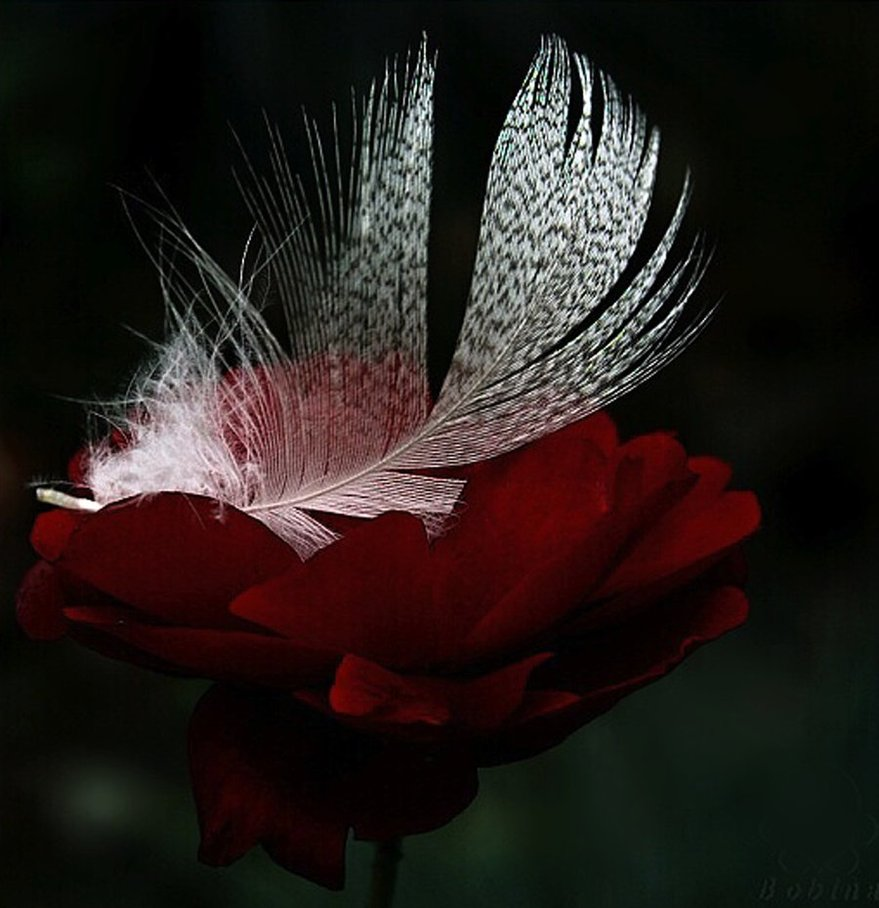 feathers_on_the_rose_by_svitakovaeva-d31scbr.jpg